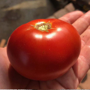 photo: large red tomato held in someone's palm