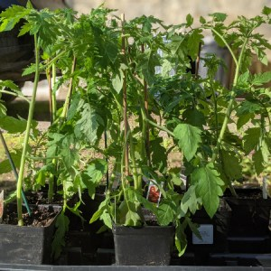 photo:crate of tomato plants