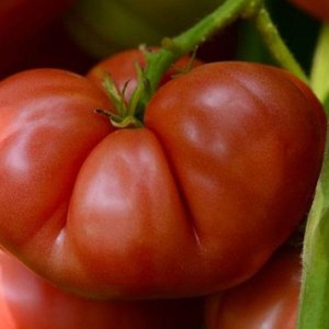 photo: large beefsteak tomato