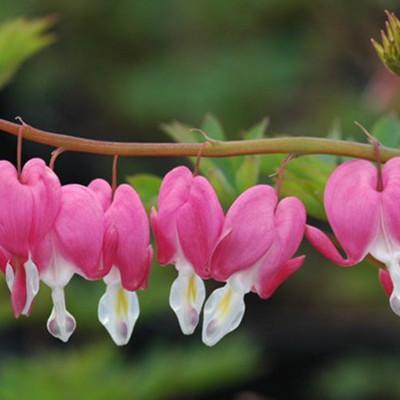 photo: bleeding heart flowers