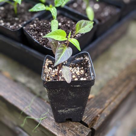 photo: pepper seedling with purplish leaves