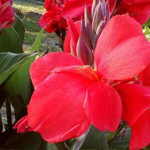 photo: brilliant red canna blossom