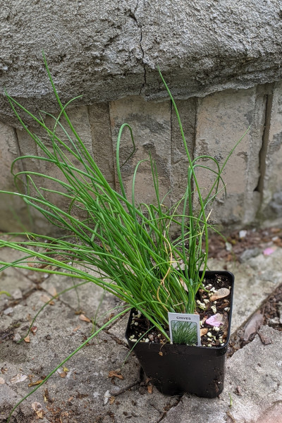 photo: chives in pot