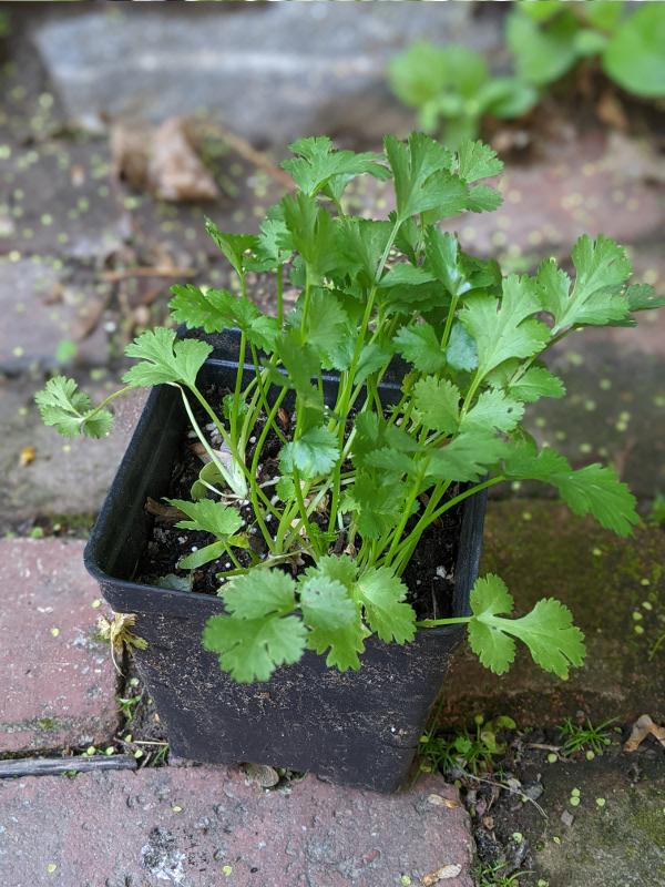 photo: pot of cilantro