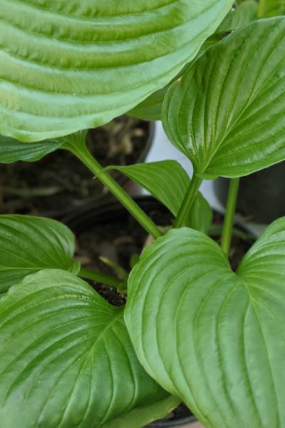 photo: shiny green foliage