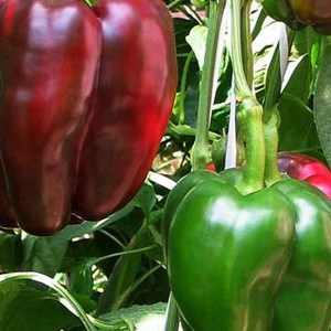 photo: green and red bell peppers ripening
