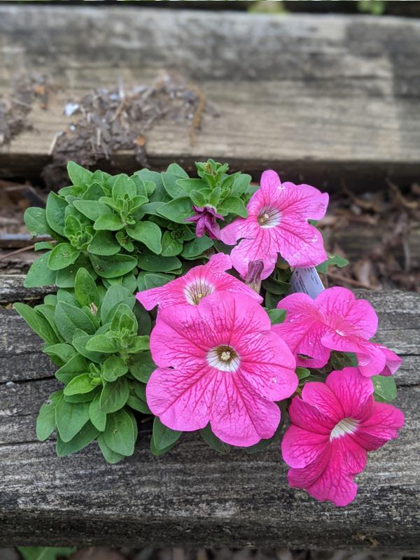 photo: deep pink petunia plant