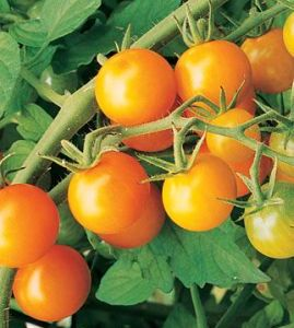 photo: orange cherry tomatoes on vine