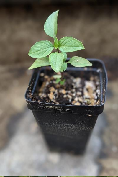 photo: Thai basil seedling in pot