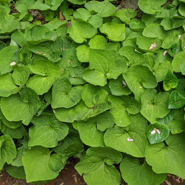 photo: mass of green heart-shaped leaves