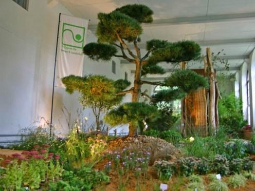 Fast den gesamten Raum nimmt die Bonsai Kiefer ein, ein Baum der durch seinen überaus bizarren Wuchs ein absoluter Hingucker ist.