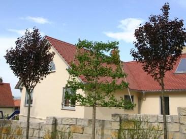 Einen ganz besonderen Sichtschutz bietet diese wunderschöne Kombination mit der rotblättrigen Nelkenkirsche Prunus serrulata `Royal Burgundy`mit dem trapezförmig geschnittenen Hochstamm aus Ginkgo biloba.