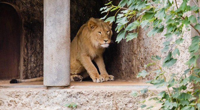 De jonge leeuw wil kennis maken met de leeuwinnen