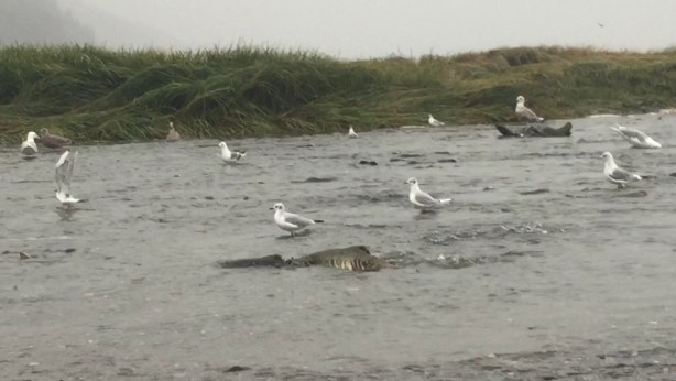 Gulls feeding on Chum Salmon eggs. Click image for video