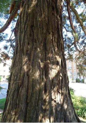 Mammutbaum west
