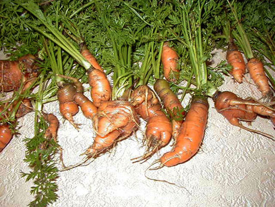 The Deformed Carrot Orphanage