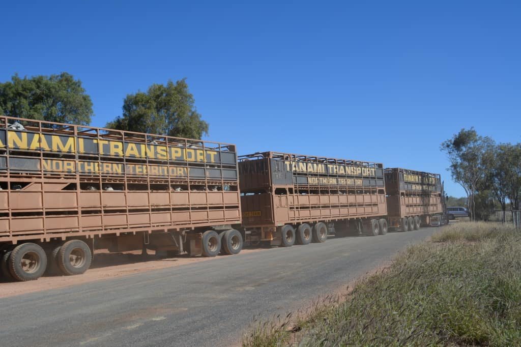 A typical road train transporting cattle