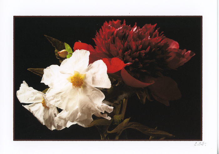 Red Peony and White Flowers