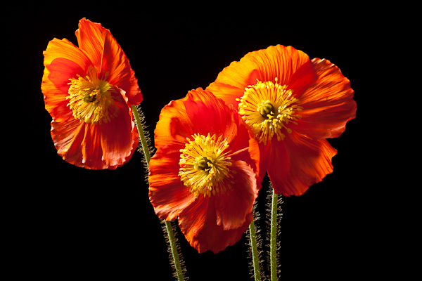 3 Orange Poppies