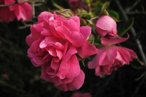 We can complain because rose bushes have thorns, or rejoice because thorn bushes have roses. Abraham Lincoln