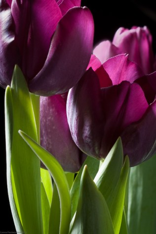 Purple Tulips WP