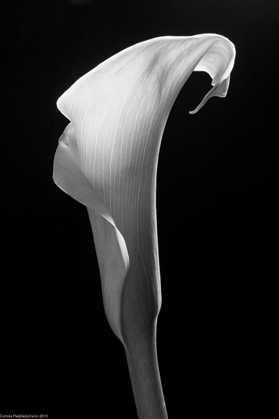 Black and White Calla