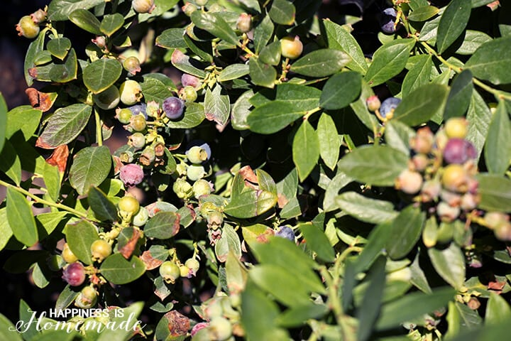 Blueberry Bushes