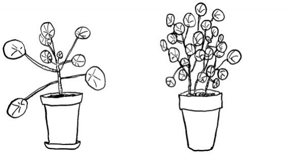 happy acorn pilea peperomioides pannenkoekenplant urban jungle bloggers