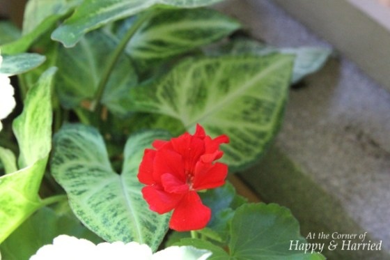Fantasia Red Geraniums 1
