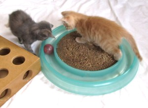 Kittens playing @ Happy Cats