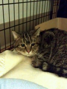 Rescued tabby @ Happy Cats