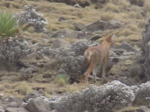 An Ethiopian Wolf in the Simien Mountains National Park, Ethiopia