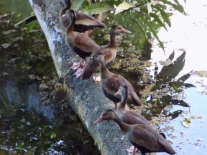 This photo shows Wild Muscovy Ducks at Pointe-a-Pierre Wildfowl Trust, Trinidad, They are standing in a row on a broken tree trunk which had fallen into the lake