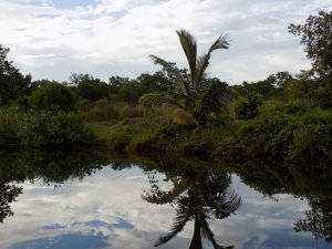 This picture was taken as we headed into the swamp and shows a palm tree and other trees and shrubs reflected in the still waters.