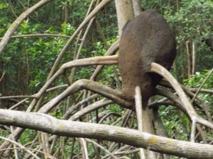 This picture shows a black termite nest built in the roots of a mangrove in Caroni Swamp.