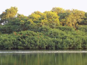 This photo shows the trees where the white egret and the Scarlet Ibis roost, gradually turning from green to red and white.