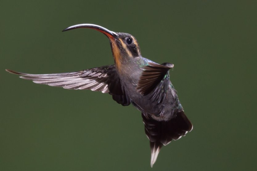 This photo shows a green hermit in flight