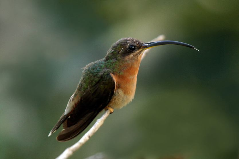 This photo shows a rufous-breasted hermit perched on a branch