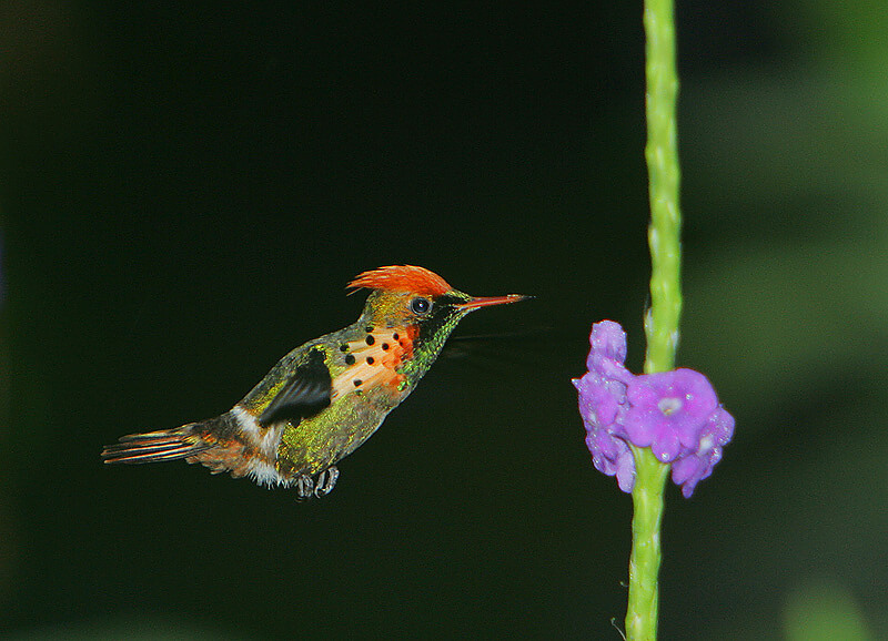 This photo shows a tufted coquette hovering in mid-air ready to get nectar from a purple flower