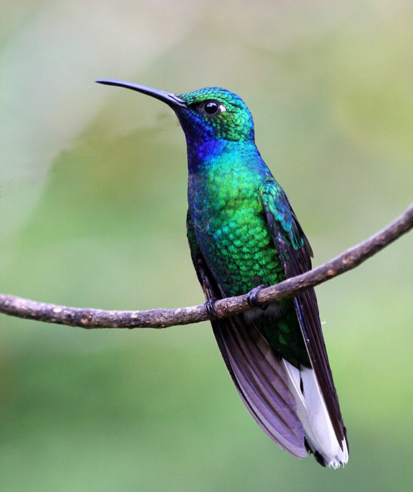 This photo shows a white-tailed sabrewing perched on a branch