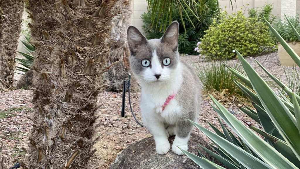 coated bambino cat wearing harness standing on a rock near palm tree