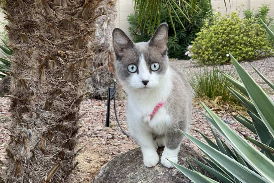 coated bambino cat wearing harness standing on a rock near palm tree