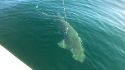 2018-may-25th mud island happy fisherman seven gill shark