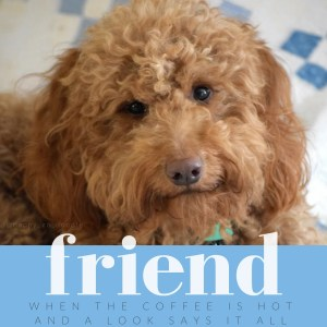 Happy red golden doodle's face and quote about friend, coffee by j.carl