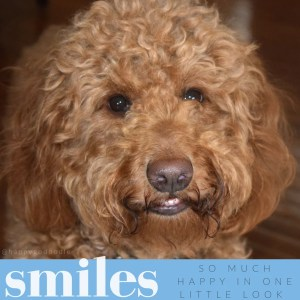 Close-up of red goldendoodle with smiley face, teeth show;' quote about smile