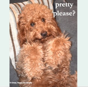 Red goldendoodle dog with paws up and sweet expression