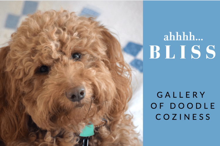 Happy-Go-Doodle red goldendoodle dog with blissful expression and title ahhh...bliss