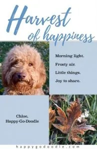 red goldendoodle dog's face and close-up of a red fall leaf and quote by Chloe, Happy-Go-Doodle