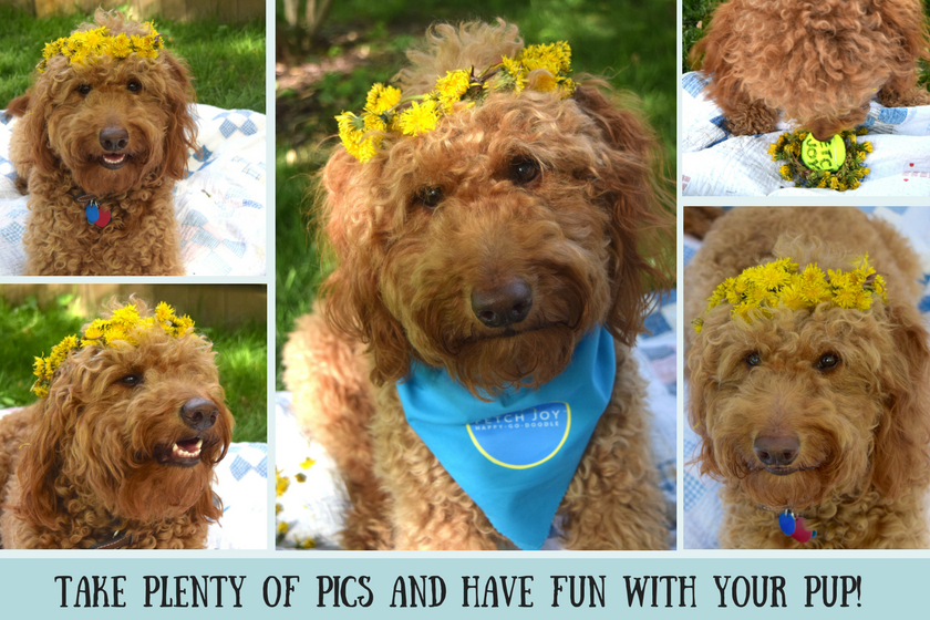 Collage of goldendoodle dog wearing yellow dandelion crown and caption take plentry of pics and have fun