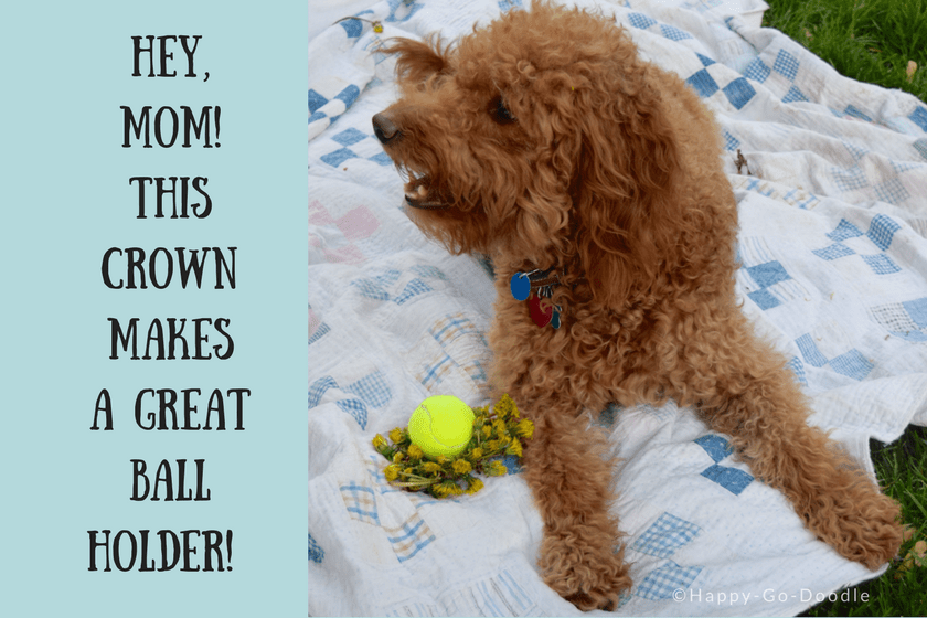 Red goldendoodle dog with tennis ball in yellow dandelion crown and caption hey, mom, this dandelion crown makes a great ball holder